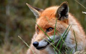 A picture of a red fox
